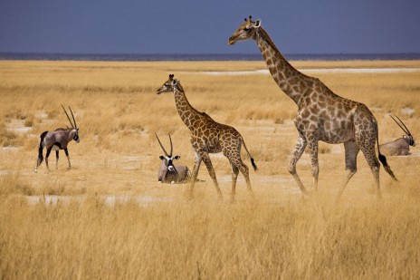 Mokuti Etosha Lodge Giraffe